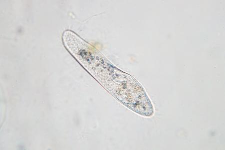 Paramecium caudatum is a genus of unicellular ciliated protozoan and Bacterium under the microscope