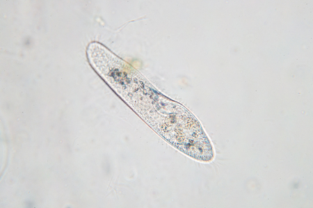 Paramecium caudatum is a genus of unicellular ciliated protozoan and Bacterium under the microscope