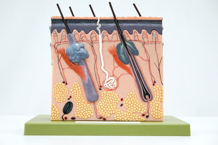 Cross section human skin tissue model for education Stockfoto
