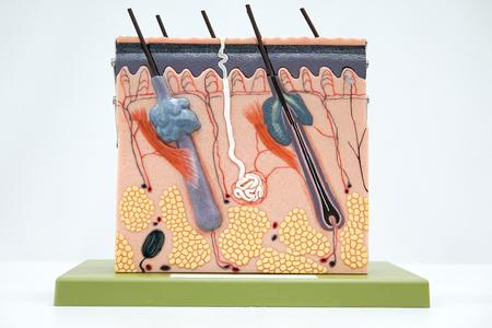 Cross section human skin tissue model for education Foto de archivo