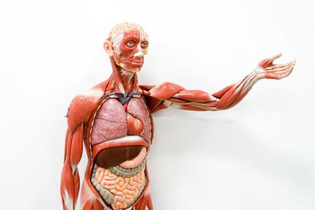 Modelo De Anatomía Humana Para La Educación Fotos, Retratos ...