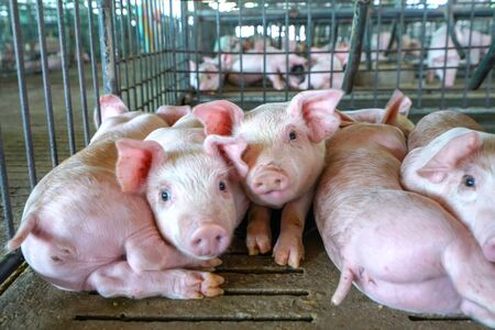 The small piglet in the farm. swine in the stall. Meat industry. 스톡 콘텐츠