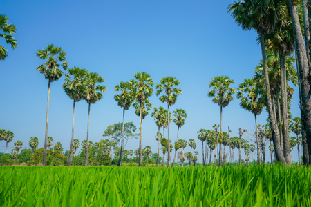 Green Rice Field with Blue Sky in sounthen of Thailand