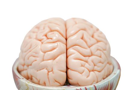 Human brain anatomy model for education physiology Foto de archivo