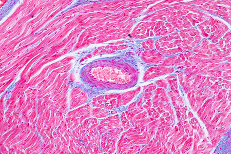 Histology of human cardiac muscle under microscope view for education. Human tissue.