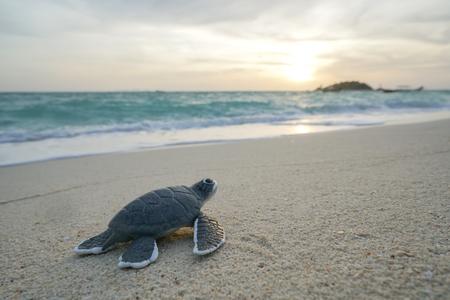 Piccola tartaruga di mare sulla spiaggia di sabbia al mattino.