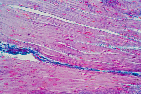 Histology of human smooth muscle under microscope view for education, Human tissue