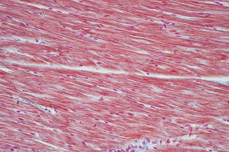 Histología del músculo cardíaco humano bajo vista microscópica para educación, histología de tejidos humanos.