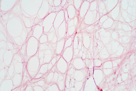 Areolar connective tissue under the microscope view. Histological for human physiology. Banque d'images - 114347528