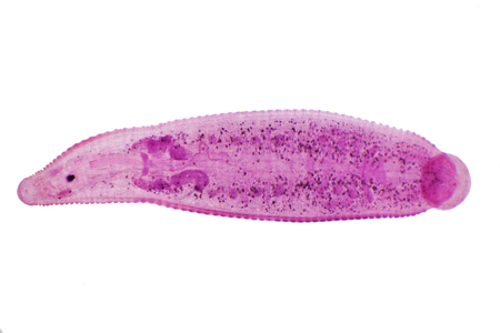 Leech of cattle and other grazing animals under the microscope for education.