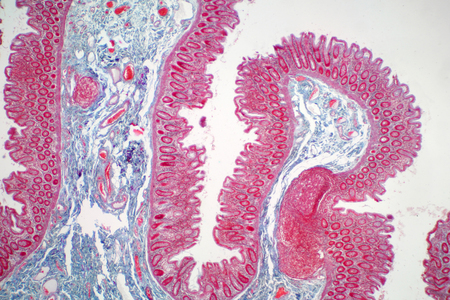 Human large intestine tissue under microscope view. Histological for human physiology. Banque d'images