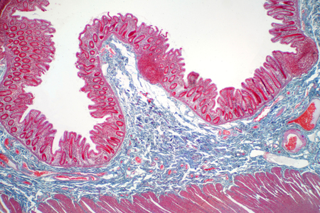 Human large intestine tissue under microscope view. Histological for human physiology. Imagens
