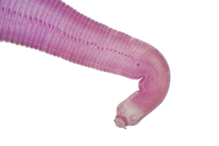Tapeworm (Parasitic flatworm) of cattle and other grazing animals under the microscope for education. Stockfoto - 114347187