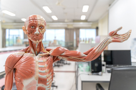 Human anatomy and physiology model in the laboratory for education. Banque d'images