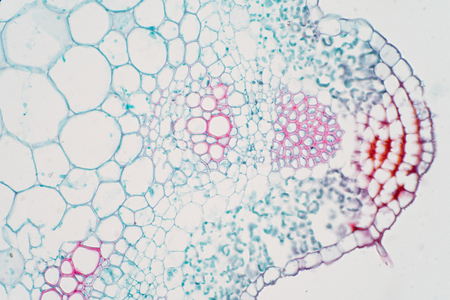 Plant vascular tissue under microscope view for education. Banque d'images - 114347118