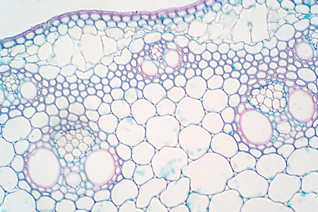 Cross sections of plant stem under microscope view for education plant physiology.