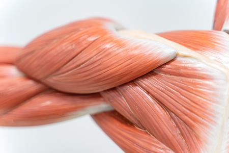 Muskeln der Schulter für die Physiologieausbildung. Standard-Bild