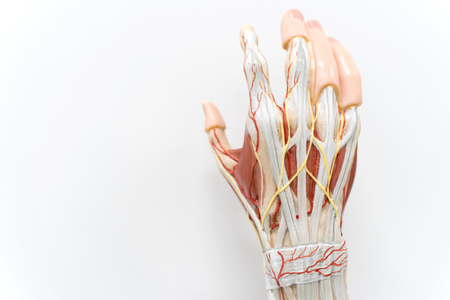 Muscles of the palm hand for anatomy education. Human physiology. Banco de Imagens