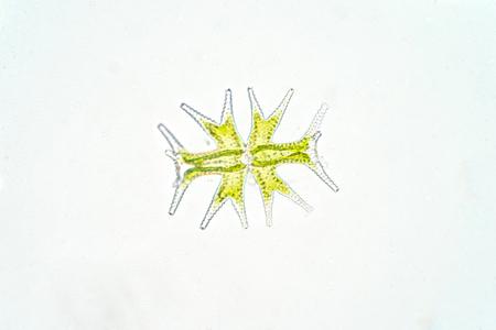 Micrasterias es un alga verde unicelular bajo la vista microscópica, fitoplancton