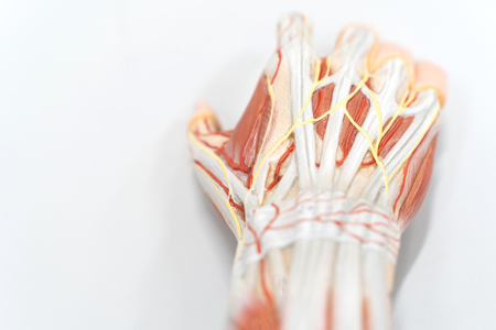 Muscles of the palm hand for anatomy education. Human physiology.