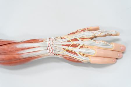 Músculos de la palma de la mano para la educación anatómica. Fisiología humana. Foto de archivo