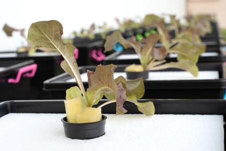 Fresh organic Red  oak culture in aquaponic or  hydroponic farming. Salad organic hydroponic farm, Red  salad Vegetable leaf, Red  Oak