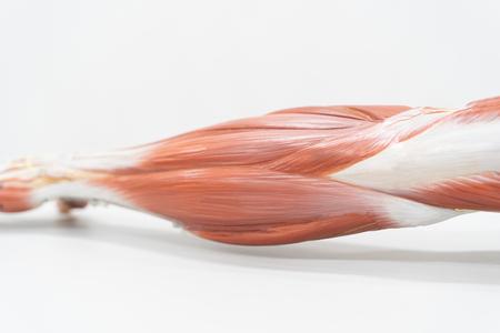 Músculos del brazo para educación anatómica. Fisiología humana.