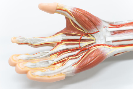 Muscles of the palm hand for anatomy education. Human physiology. Stock Photo