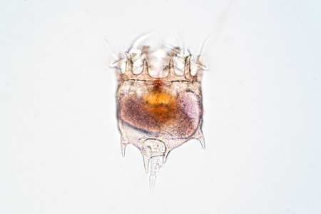 The rotifer (Rotifera, commonly called wheel animals) under the microscopic view for education.