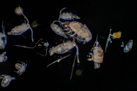 Le plancton est un organisme qui dérive dans les océans et les mers. Zooplancton.
