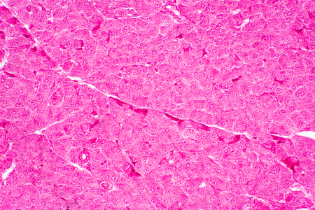 Human liver tissue under microscope view for education histology, Human tissue.