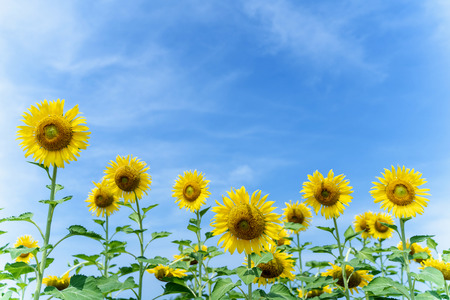 Yellow Sunflower with the Blue Sky background.