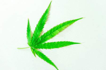 Cannabis(Drugs) marijuana leaf closeup on the white background. Banco de Imagens