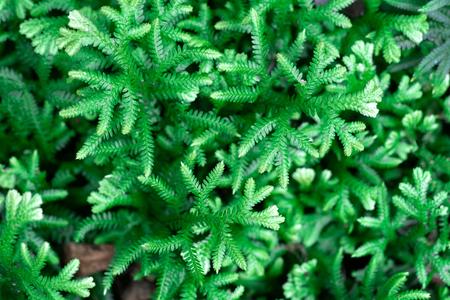 Spike Moss(Selaginella willdenowii) in the garden. Abstrack background Spike Moss.
