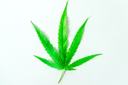 Cannabis(Drugs) marijuana leaf closeup on the white background. 스톡 콘텐츠