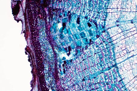 Cross section - Phloem is a type of tissue in vascular plants that transports water and some nutrients. Scientific research. Plant tissue Structure.