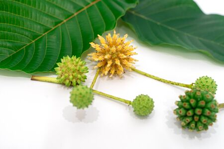 Mitragyna speciosa Korth (Kratom) is drug from plant. It is a medicinal plant and is addictive. Stockfoto