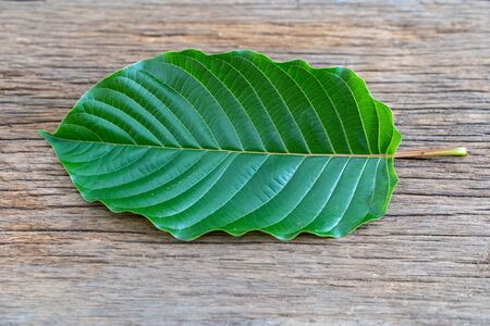 Mitragyna speciosa Korth (Kratom) is drug from plant. It is a medicinal plant and is addictive. Banco de Imagens