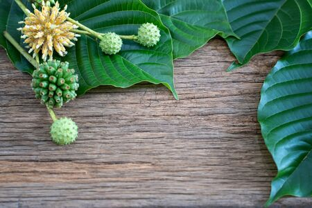 Mitragyna speciosa or kratom leaves is drug from plant. It is a medicinal plant and is addictive. Stockfoto