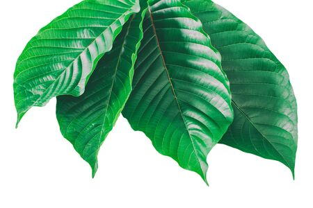 Mitragyna speciosa Korth (Kratom) is drug from plant. It is a medicinal plant and is addictive. Reklamní fotografie