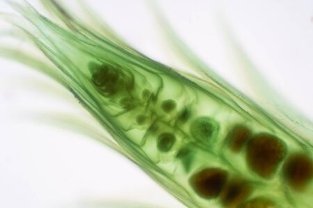 Moss gametophyte is the phase in the life cycle of plants under microscope for biology education.