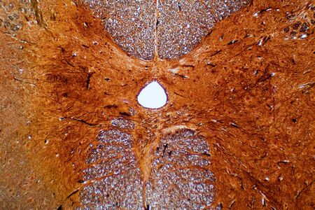 Cross section of spinal cord under the microscope view. Histological for human physiology.