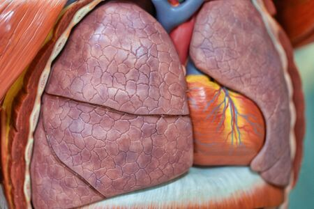 Human respiratory system model is show Lungs and heart. Human physical model for education of anatomy.