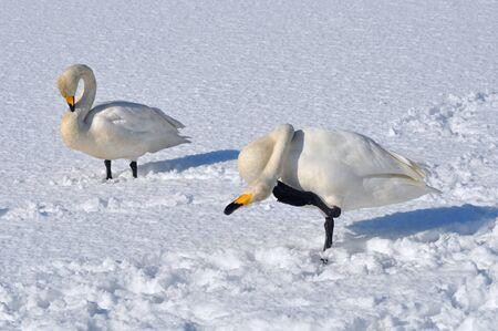 swan Stock Photo - 16851318