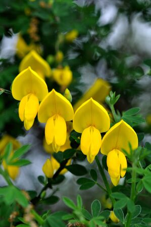 scotch broom photo