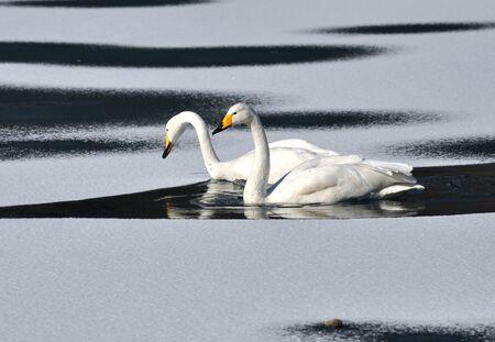 swans Stock Photo - 17015260