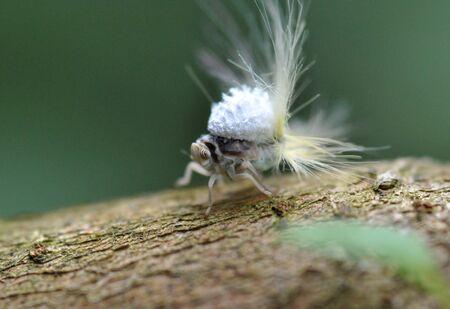 pentatomidae: insect hagoromo
