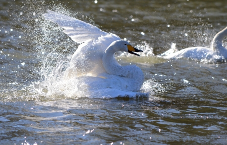 swan Stock Photo - 17133374