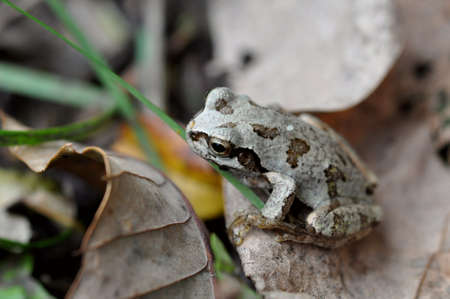 mimicry: mimicry of the frog