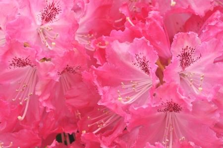 ericaceae: rododendro